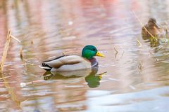 Mallard ducks photographed in city park. Wild ducks living near water Stock Image