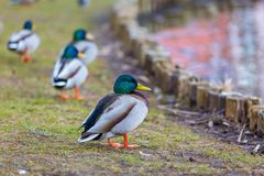 Mallard ducks photographed in city park. Wild ducks living near water Royalty Free Stock Image