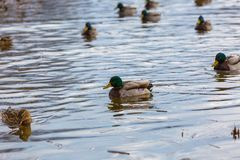 Mallard ducks photographed in city park. Wild ducks living near water Stock Photos