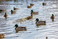 Mallard ducks photographed in city park. Wild ducks living near water Stock Images