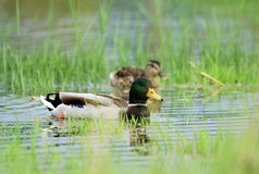 Mallard ducks on a pond. Couple of mallard ducks floating quietly on the water pond between grass Royalty Free Stock Photos