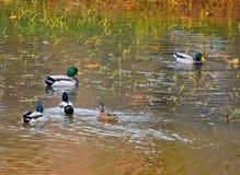 Mallard ducks on a pond. Green and blue headed mallards, bufflehead ducks feeding on a pond in NW Oklahoma City Royalty Free Stock Image