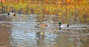 Mallard ducks on a pond. Green and blue headed mallards, bufflehead ducks feeding on a pond in NW Oklahoma City Stock Photos