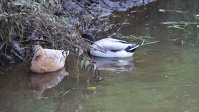 Mallard ducks in a pond. Male and female mallard ducks in a pond stock video