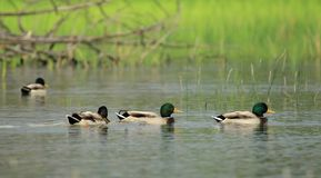 Mallard ducks on a pond. Male mallard ducks floating quietly on the water pond next to grass Royalty Free Stock Image