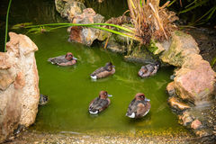 Mallard Ducks relaxing in pond. With green water Stock Photos