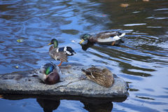 Mallard ducks rest on a rock, Farmington River, Canton, Connecti Royalty Free Stock Photos