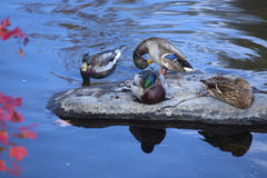Mallard ducks rest on a rock, Farmington River, Canton, Connecti. Four male and female mallard ducks, Anas platyrhynchos, rest and preen on a rock in the Stock Photo