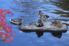Mallard ducks rest on a rock, Farmington River, Canton, Connecti. Male and female mallard ducks, Anas platyrhynchos, rest and preen on a rock in the Farmington Royalty Free Stock Images