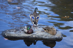 Mallard ducks rest on a rock, Farmington River, Canton, Connecti Stock Photography