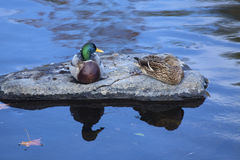 Mallard ducks rest on a rock, Farmington River, Canton, Connecti Stock Photos