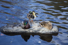 Mallard ducks rest on a rock, Farmington River, Canton, Connecti. Three male and female mallard ducks, Anas platyrhynchos, rest and preen on a rock in the Stock Photography