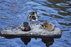 Mallard ducks rest on a rock, Farmington River, Canton, Connecti. Three male and female mallard ducks, Anas platyrhynchos, rest and preen on a rock in the Stock Images