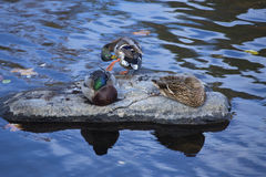 Mallard ducks rest on a rock, Farmington River, Canton, Connecti. Three male and female mallard ducks, Anas platyrhynchos, rest and preen on a rock in the Royalty Free Stock Image