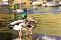 Mallard Ducks Resting in an Autumn Pond. Pair of Mallard Ducks Resting in an Autumn Pond Royalty Free Stock Photo