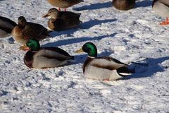 Mallard ducks resting on the frozen lake. Drake Mallard ducks on the snow-covered Royalty Free Stock Image