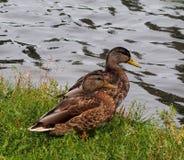 Mallard Ducks. Resting in grass beside lake in late summer Stock Photo