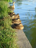 Mallard ducks resting on lakeshore Royalty Free Stock Photos