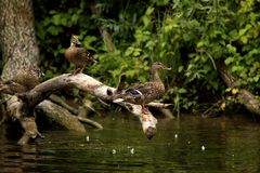 Mallard duck females Royalty Free Stock Photo