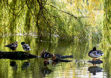 Mallard ducks resting on a tree trunk Stock Photo