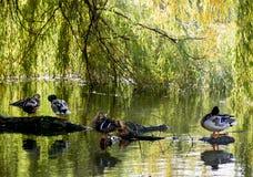 Mallard ducks resting on a tree trunk Stock Photo