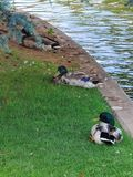 Mallard ducks by a river canal stock image