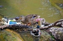 Mallard ducks in river garbage. Pair of mallard ducks in river litter Royalty Free Stock Photos