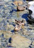 Mallard ducks on river Stock Image