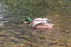 Mallard ducks on a river. Male and female mallard ducks swimming on a river Royalty Free Stock Photo