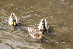 Mallard ducks on a river. Three mallard ducks swimming on a river Stock Photography