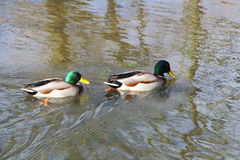 Mallard ducks on a river. Two mallard ducks on a river Royalty Free Stock Photography