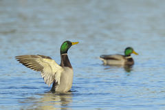 Mallard ducks on river. Two male mallard ducks on a river Royalty Free Stock Photo