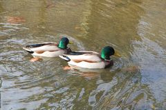 Mallard ducks on a river Royalty Free Stock Photo