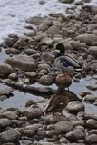 Mallard Ducks on Rocks and in Water. Mallard Ducks on rocks and in icy water Royalty Free Stock Photos