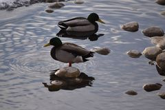 Mallard Ducks on Rocks and in Water. Mallard Ducks on rocks and in icy water Royalty Free Stock Photography