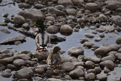 Mallard Ducks on Rocks and in Water. Mallard Ducks on rocks and in icy water Royalty Free Stock Photo