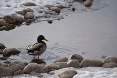 Mallard Ducks on Rocks and in Water. Mallard Ducks on rocks and in icy water Stock Photography
