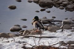 Mallard Ducks on Rocks and in Water. Mallard Ducks on rocks and in icy water Stock Images