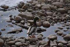 Mallard Ducks on Rocks and in Water. Mallard Ducks on rocks and in icy water Stock Photos