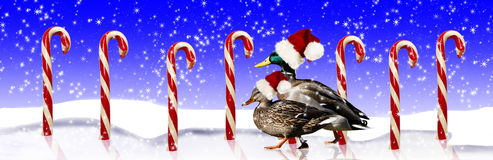 Mallard Ducks Santa Hats. A pair of Mallard ducks wearing Santa hats while strolling on frozen pond lined with red and white candy canes Royalty Free Stock Photo