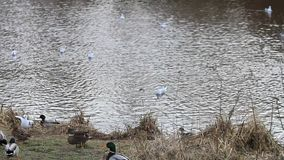 Mallard ducks and seagull in the nature stock footage