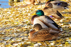 The mallard ducks Royalty Free Stock Photo