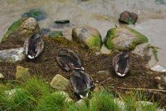 Mallard ducks. Sleeping by the Baltic Sea Stock Image