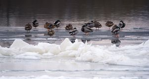 Mallard ducks sleeping on a frozen river at sunset. A flock of Mallard ducks sleeping on the bank of a frozen river at sunset Stock Image