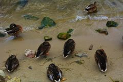 Mallard ducks sleeping on the sand. By the Baltic Sea Stock Image