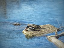 Mallard Ducks Snooze Near the Banks of The Arkansas River. Mallard ducks grab a nap in the late morning sun at Lake Pueblo State Park, Colorado. Many different Royalty Free Stock Image