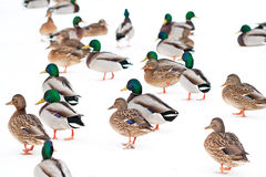 Mallard ducks. On a snow Stock Photos