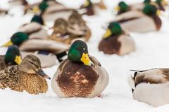 Mallard ducks in the snow in the city Park. Winter day.  Stock Photo