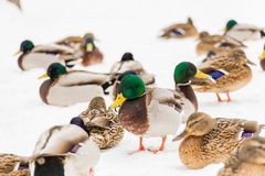 Mallard ducks in the snow in the city Park. Winter day.  Royalty Free Stock Images
