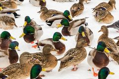 Mallard ducks in the snow in the city Park. Winter day.  Stock Photography